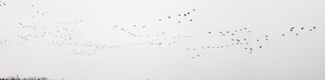geese in distant flight